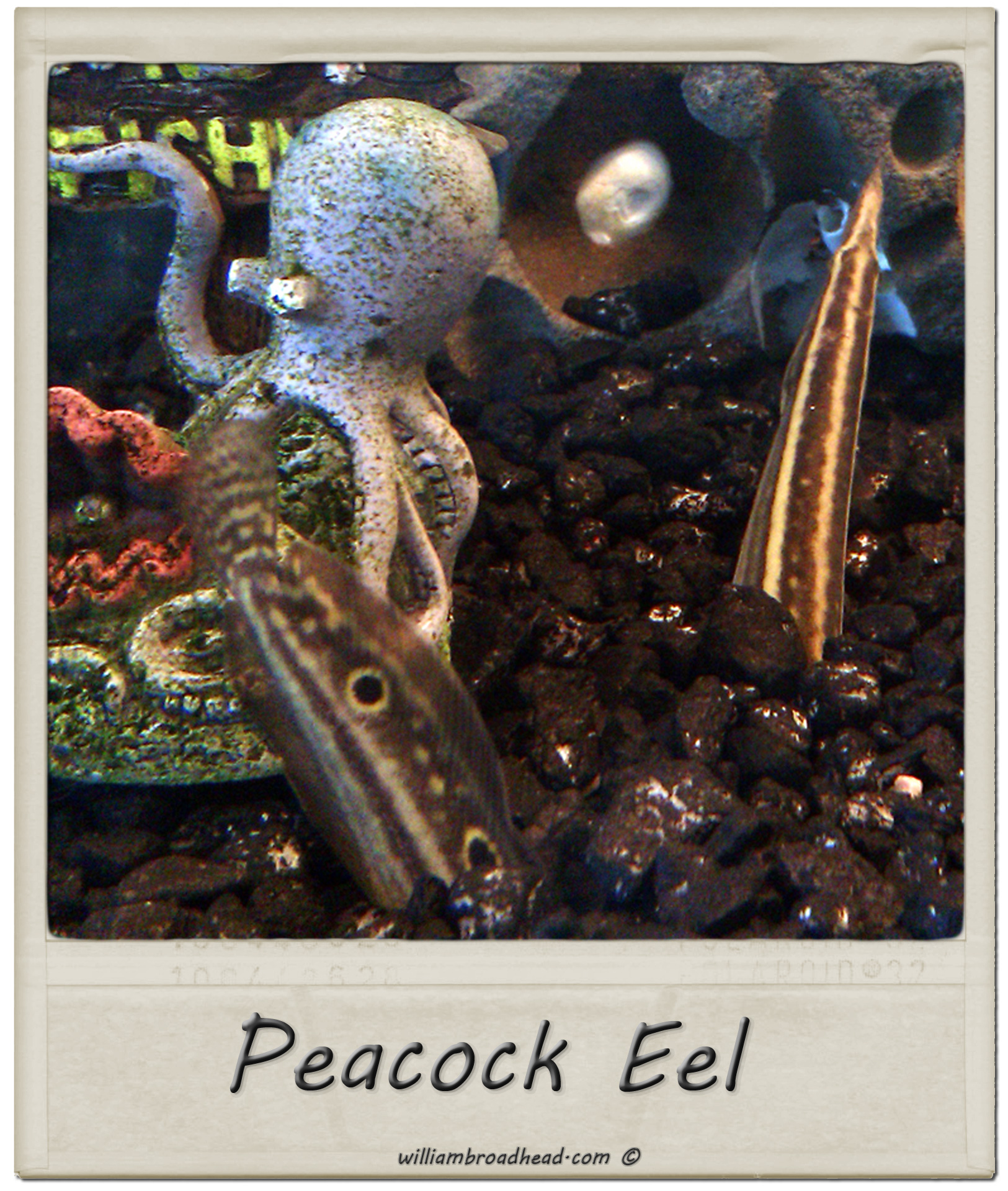 Peacock Eel Size Peacock Eel
