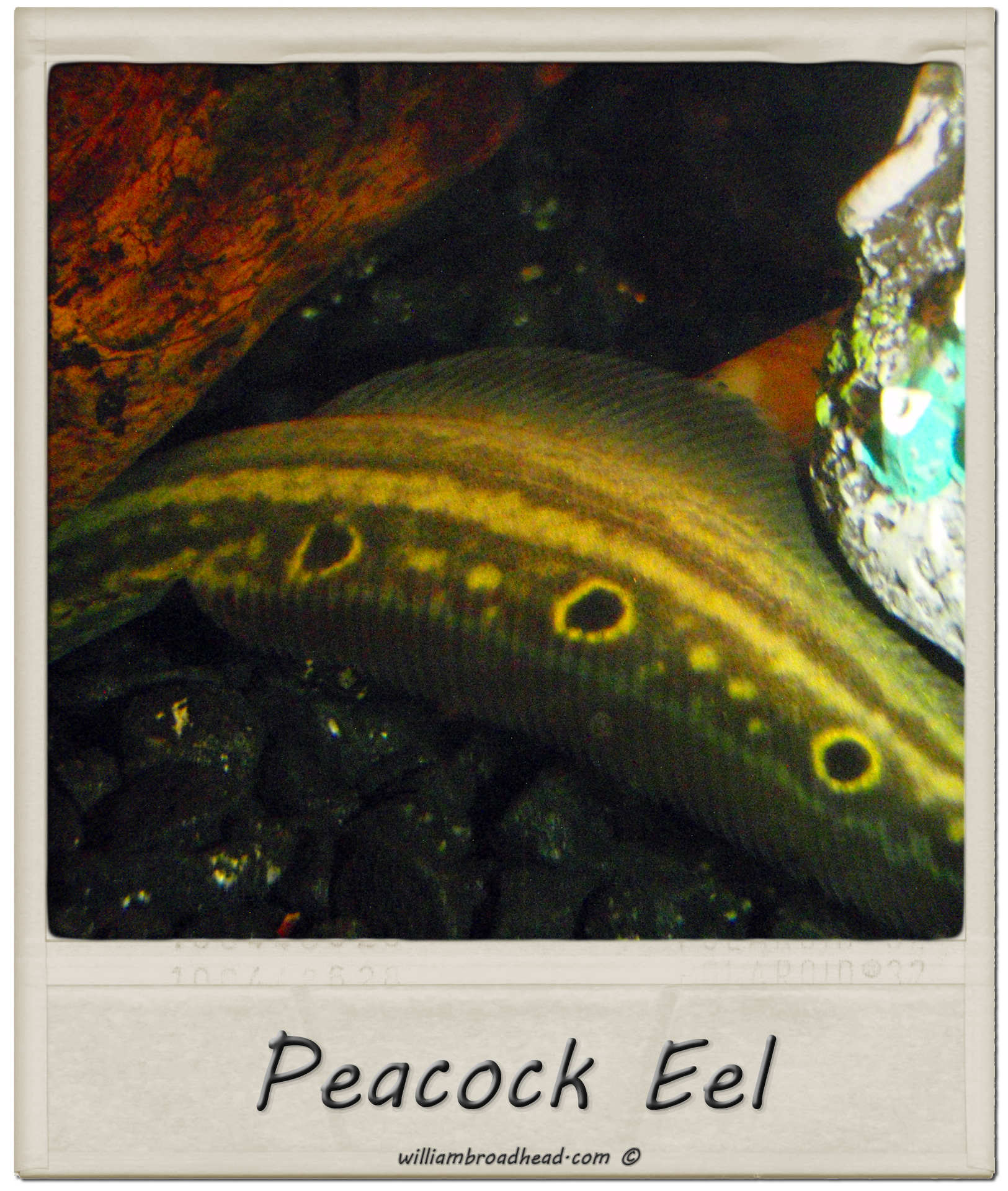 Peacock eel william broadhead for Eel fish tank